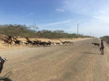goat heard
